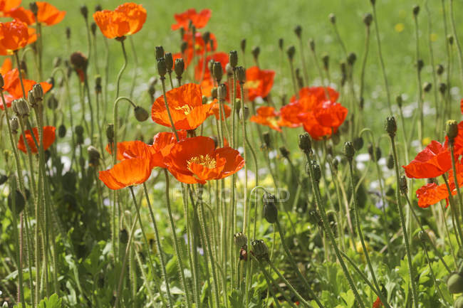 Red poppy flowers growing in green meadow. — Stock Photo