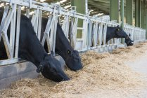 Cows feeding in diary unit — Stock Photo