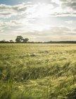 Paysage avec champ de cultures — Photo de stock
