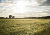 Paisaje con el campo de los cultivos - foto de stock