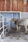 Коровы стоят вне на ферме — стоковое фото