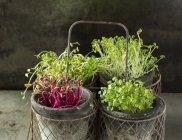 Ravanello e rucola Microgreens — Foto stock