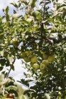 Reife Äpfel am Baum — Stockfoto