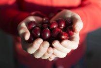 Fresh Cranberries in hands — Stock Photo