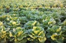 Свежие зеленые салаты — стоковое фото