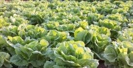 Lattuga verde fresca — Foto stock