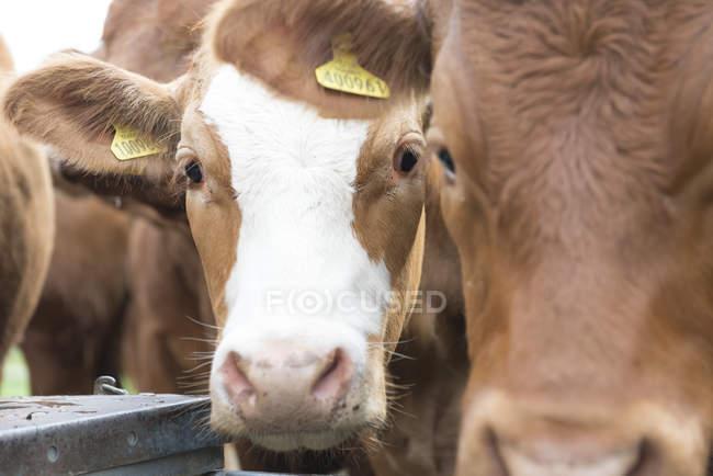 Коричневі корови на фермі — стокове фото