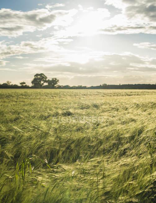 Paesaggio con campo di colture — Foto stock