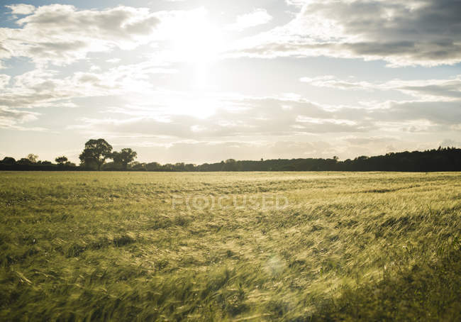 Landscape with field of crops — Fotografia de Stock