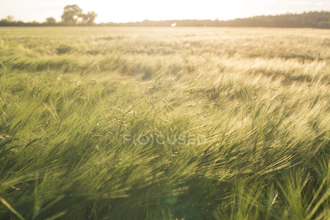 Landscape with field of crops — Stock Photo