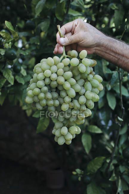 Рука зберігаючи біла винограду — стокове фото