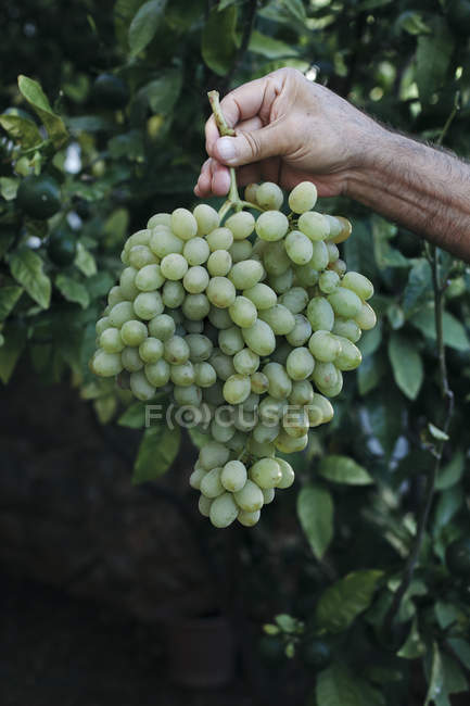 Hand keeping white grapes — Stock Photo