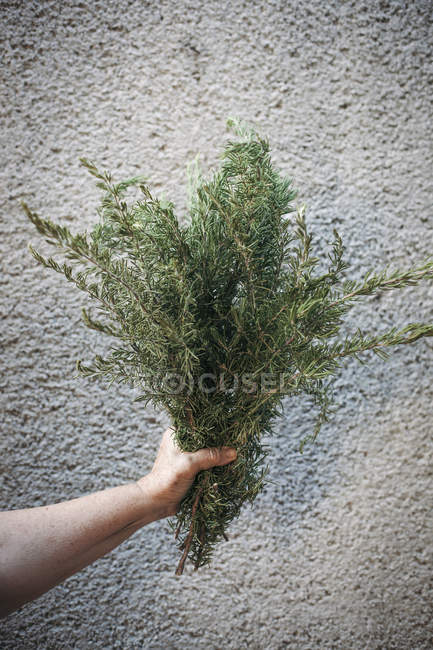 Hand keeping bunch of rosemary — Stock Photo
