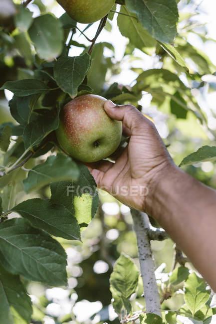 Man picking apples — Stock Photo
