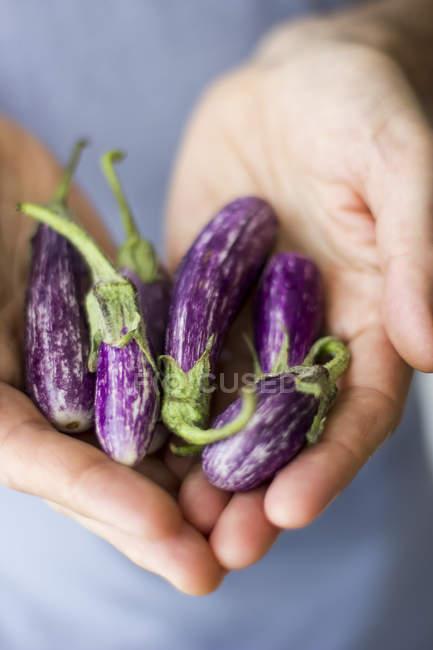 Female hands holding eggplants — Stock Photo