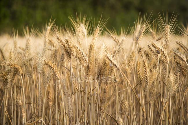 Weizen wächst in Feld — Stockfoto