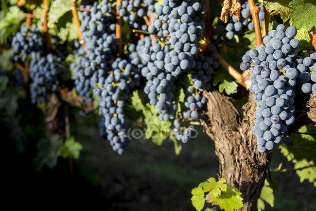 Branches of merlot grapes growing — Stock Photo