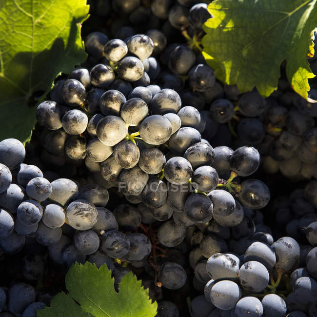 Відділення і банкомати Мерло винограду, що росте — стокове фото