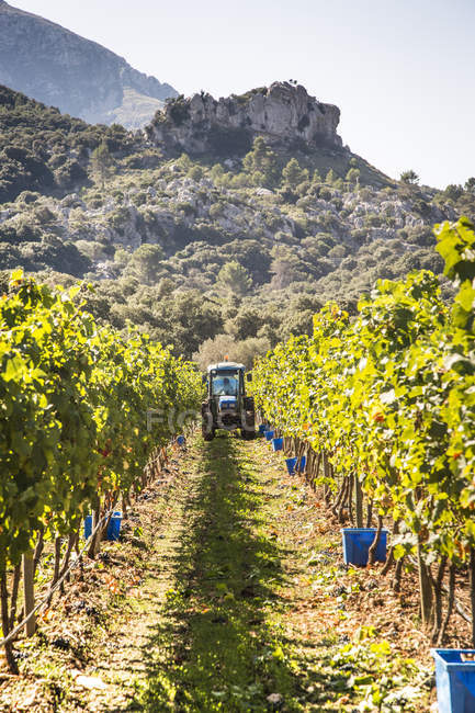 Tractor in rows of cabernet grapes — Stock Photo