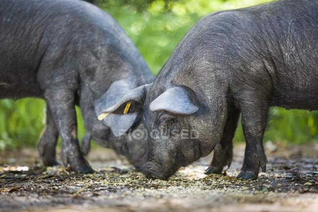 Черные свиньи едят в поле — стоковое фото