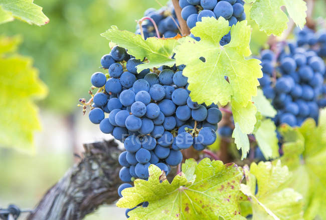 Branches of cabernet grapes growing — Stock Photo