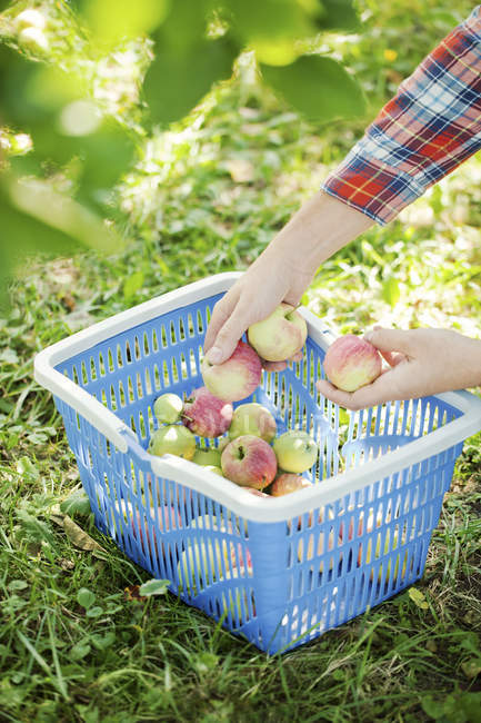 Man picking ripe apples — Stock Photo