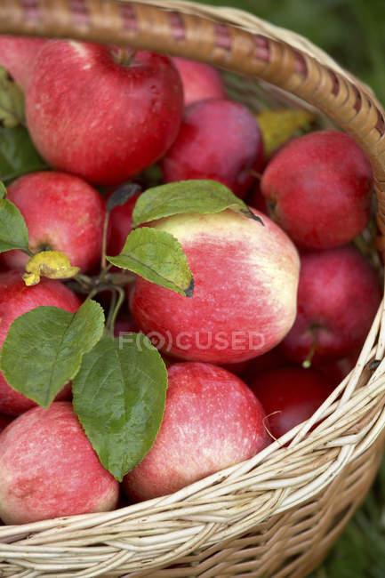 Freshly picked apples — Stock Photo
