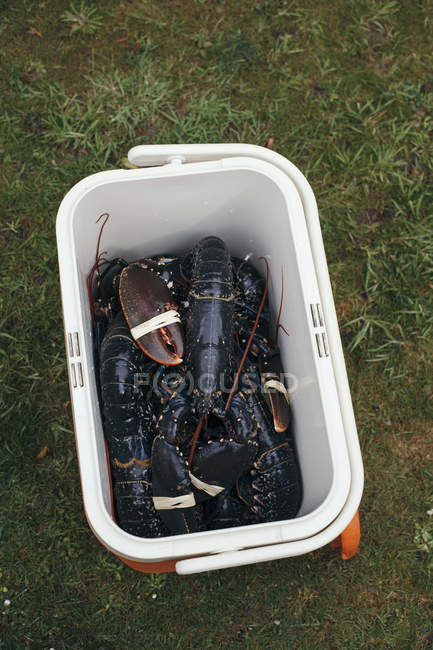 Fresh lobsters in plastic container — Stock Photo