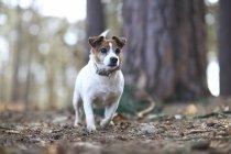Jack russell terrier on walk — Stock Photo