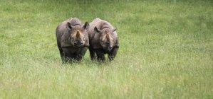 Rhinoceros running in captivity — Stock Photo