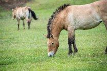 Cavalos de Przewalski no prado verde — Fotografia de Stock
