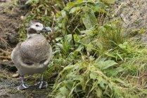 Schöne Harlekin Ente — Stockfoto