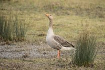 Beautiful greylag goose — Stock Photo