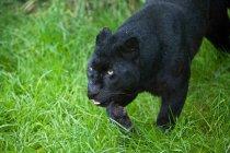 Leopardo nero Panthera Pardus — Foto stock