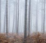 Paysage de brouillard matin dans la forêt de pins — Photo de stock