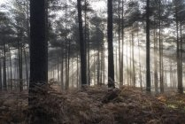 Landscape of foggy morning in pine forest — Stock Photo