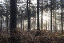 Paesaggio di mattina nebbiosa in pineta — Foto stock