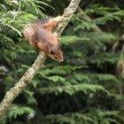 Esquilo-vermelho jogando na árvore — Fotografia de Stock