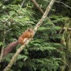 Écureuil roux, jouant dans les arbres — Photo de stock