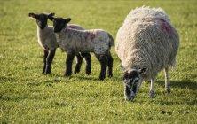 Весенние ягнят и овец в областях — стоковое фото