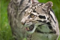 Clouded leopard Neofelis Nebulova — Stock Photo