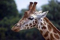 Заделывают Жираф морды — стоковое фото