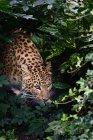 Leopardo Panthera Pardus — Foto stock