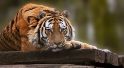 Tiger relaxing on warm day — Stock Photo