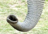 Крупним планом Африканський слон — стокове фото
