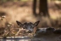 Maschio dei cervi rossi con nuovi antlers — Foto stock