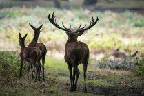 Rebanho de grupo familiar de cervo veado-vermelho — Fotografia de Stock
