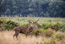 Majestuoso ciervo ciervo en paisaje de bosque - foto de stock