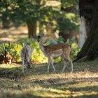 Terneros de ciervos rojos en paisaje de bosque - foto de stock