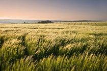 Nuevo campo de trigo en el campo - foto de stock